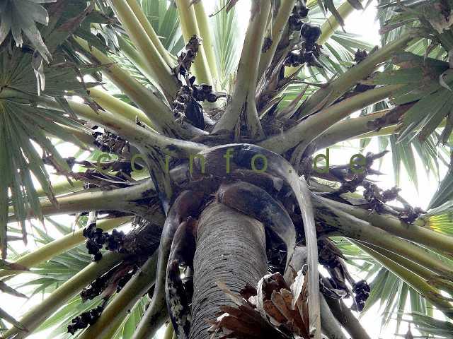 palmen pflege der palme borassus flabellifer. Black Bedroom Furniture Sets. Home Design Ideas