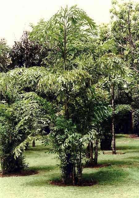 palmen pflege der palme caryota mitis fischschwanzpalme. Black Bedroom Furniture Sets. Home Design Ideas