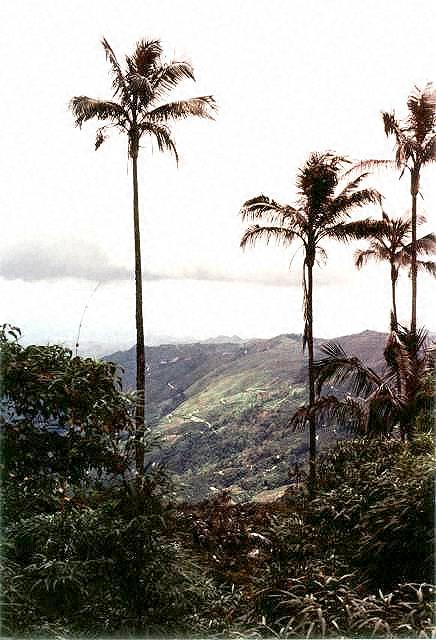 palmen pflege der palme ceroxylon alpinum quindiuense. Black Bedroom Furniture Sets. Home Design Ideas
