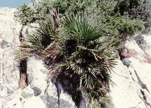 Palmen Pflege Der Palme Chamaerops Humilis Zwergpalme