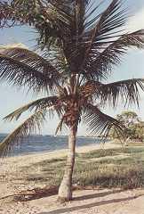 Cocos nucifera, Solitaer, Cumana