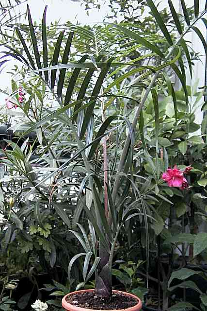 palmen pflege der palme dypsis decaryi dreieckspalme. Black Bedroom Furniture Sets. Home Design Ideas