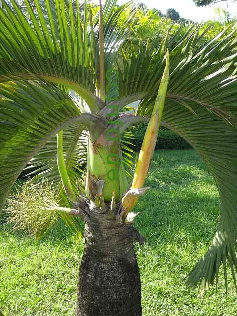 palmen pflege pflege der palme hyophorbe verschaffeltii mascarenapalme spindelpalme und. Black Bedroom Furniture Sets. Home Design Ideas