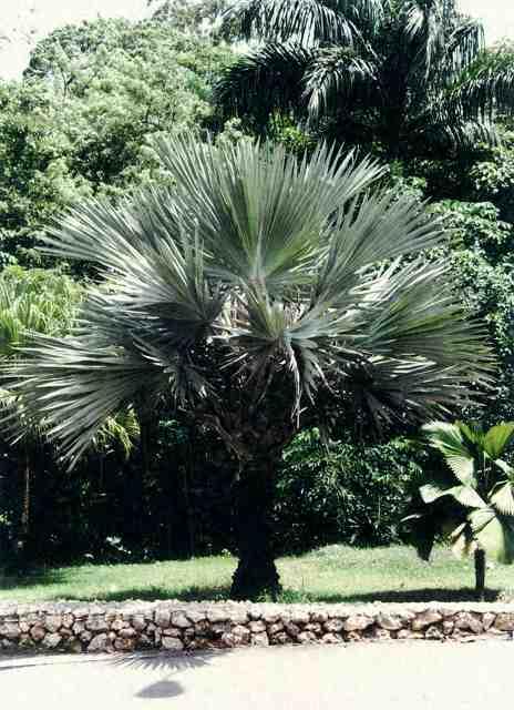 palmen pflege der palme latania loddigesii lontaroides. Black Bedroom Furniture Sets. Home Design Ideas