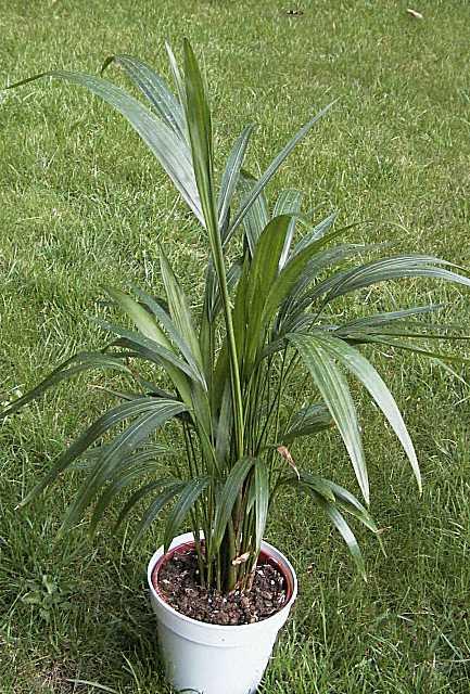 palmen pflege der palme ravenea rivularis wei stammpalme. Black Bedroom Furniture Sets. Home Design Ideas