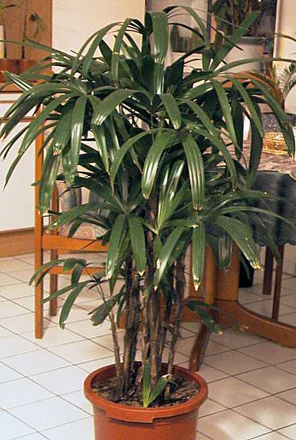palmen pflege der palme rhapis excelsa steckenpalme. Black Bedroom Furniture Sets. Home Design Ideas