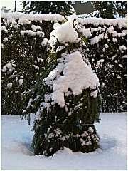 Mit Fichtenzweigen ummantelte Trachycarpus fortunei
