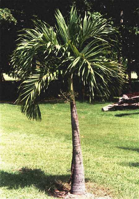 palmen pflege der palme veitchia merillii. Black Bedroom Furniture Sets. Home Design Ideas